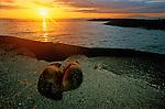 Sea lion couple at the sunset<br /> Couple d otaries au coucher du soleil