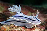 Puerto Galera, Oriental Mindoro, Philippines; a Chromodoris sp. nudibranch moving across the coral reef
