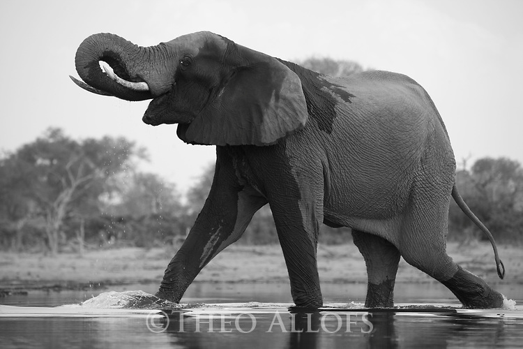 African elephant walking in shallow lake, Botswana, Okavango Delta, Moremi Game Reserve