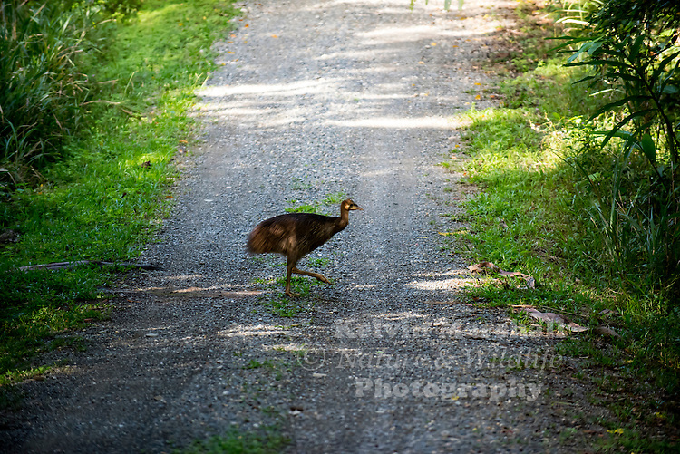 Southern cassowary chick, (Casuarius casuarius), also known as the Double-wattled Cassowary, Australian Cassowary or Two-wattled Cassowary, is a large flightless black bird. It is a Ratite and therefore closely related to the Emu, Ostrich, and Rhea...