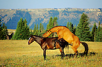Wild Horses mating.  Pryor Mountains.  June.
