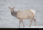 Female Elk in a Snowstorm, Gibbon River, Yellowstone National Park, Wyoming