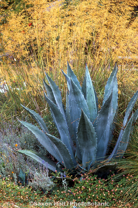 Agave americana (Century Plant) with Stipa gigantea in garden