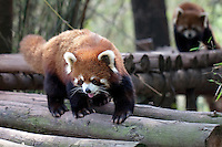 May 3rd 2011_Chengdu, China_ Red Pandas play in their enclosure at the Chengdu Research Base of Giant Panda Breeding near Chengdu, Sichuan Province.  The Panda Base is the largest Panda breeding facility in the world.  Photographer: Daniel J. Groshong/The Hummingfish Foundation