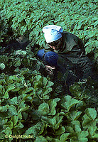 ST02-009z  Strawberries - Surecrop variety - net protection