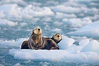 Sea otters in glacier ice, northern Prince William Sound, Alaska.