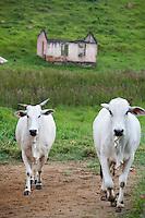 Bueno Brandao, Brasil...Gado em uma paisagem rural em Bueno Brandao...The cattle in the rural landscape in Bueno Brandao...Foto: LEO DRUMOND / NITRO