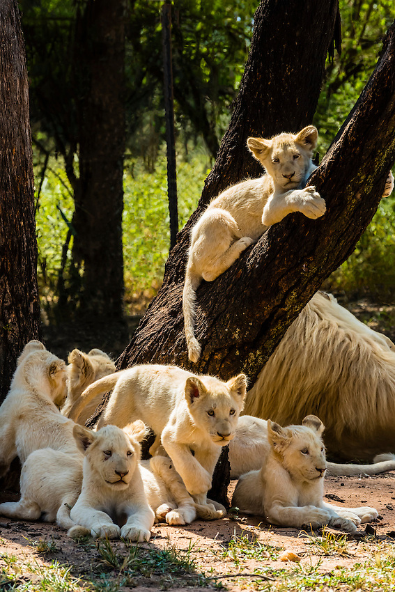 Pride of white lions, Lion Park, near Johannesburg, South Africa.