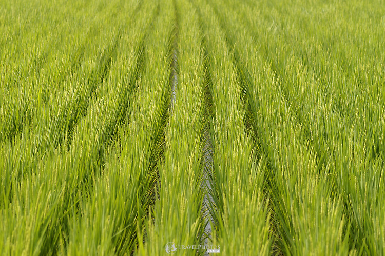 Rice field in mid growing season, in Japan.