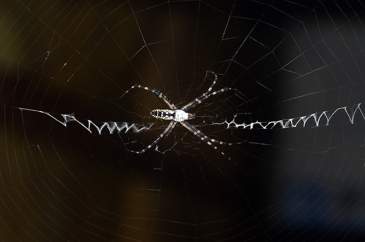 The golden orb weaver uses the heavier zigzgs in its web to stabilize the web.