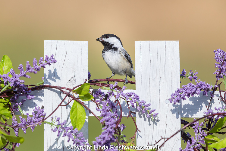Black-capped chickadee perched on a backyard fence in northern Wisconsin.
