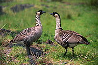 Nene is the State Bird of Hawaii found in Haleakala National Park on Maui