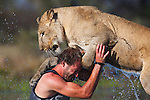 Botswana, Kalahari, Valentin Gruener  playing with a lioness in a water hole; he raised her on a private reserve from a small dying cub to a healthy adult