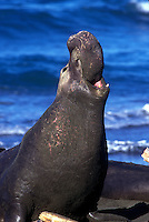 Northern Elephant Seal ( mirounga angustirostris )