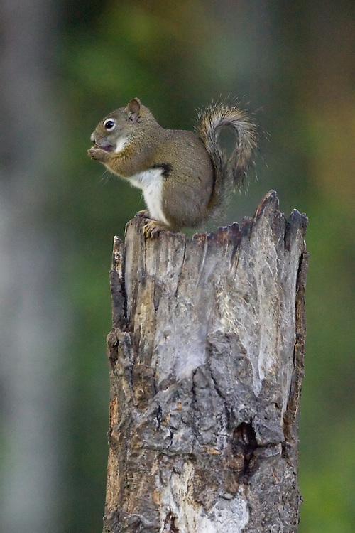 Red Squirrel eating on top of a snag