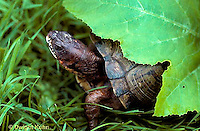 1R40-048x  Eastern Box Turtle - Terrapene carolina