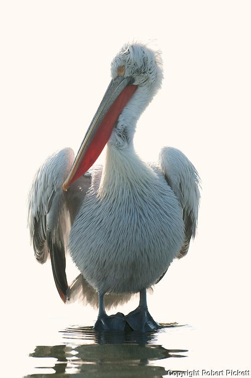 Dalmatian Pelican, Pelecanus crispus, in Breeding Plumage, Kerkini Lake, Greece, Vulnerable IUCN Red List 2007 and on Appendix I of CITES, standing in shallow water,