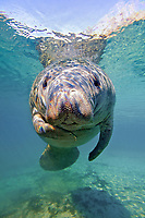 A curious juvenile West Indian manatee, Trichechus manatus latirostris, swimming at Three Sisters Spring, Crystal River State Park, Florida, USA