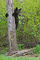 Black Bear cub watching intently while clinging to a tree