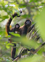 It's common to see baby monkeys hanging onto their mothers as they commute through the canopy.