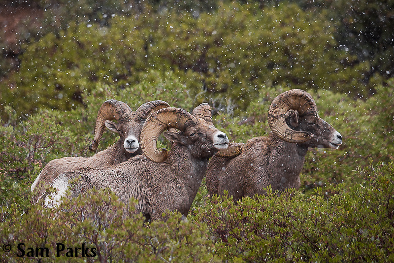 Desert bighorn sheep rams in rut during snowfall. Zion National Park, Utah.