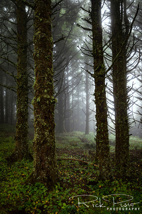 Sitka Spruce in the fog at Cape Meares along the Oregon Coast.