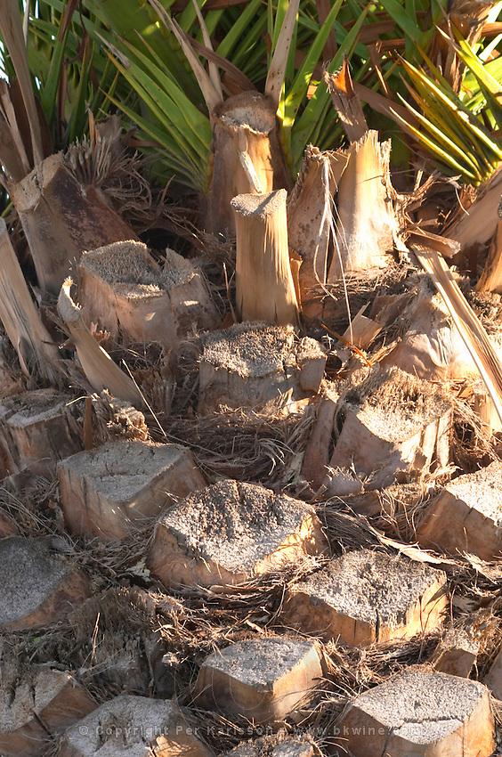 Palm tree, detail. Sitges, Catalonia, Spain