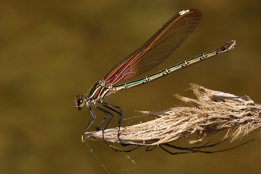 American Rubyspot Damselfly, with spider below.