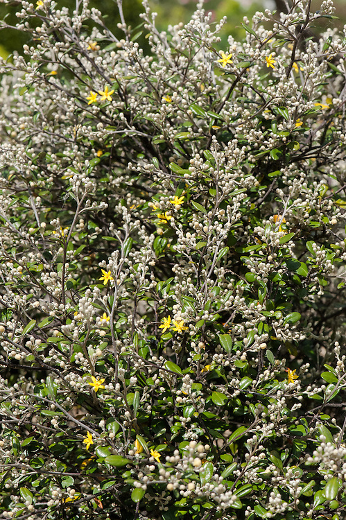 Corokia x virgata, late May. A hybrid of C. cotoneaster and C. buddlejoides commonly known as Wire-netting bush.