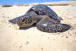 Black Sea Turtle On Beach