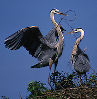 Teamwork- two great blue herons building  a nest, Florida USA