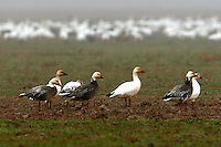 Group of white and dark adult lesser snow geese standing in front of large flock of white snow geese