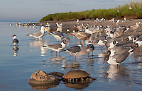 Gulls feeding on horseshoe crab eggs; Laughing Gull, Herring Gull; NJ, Delaware Bay