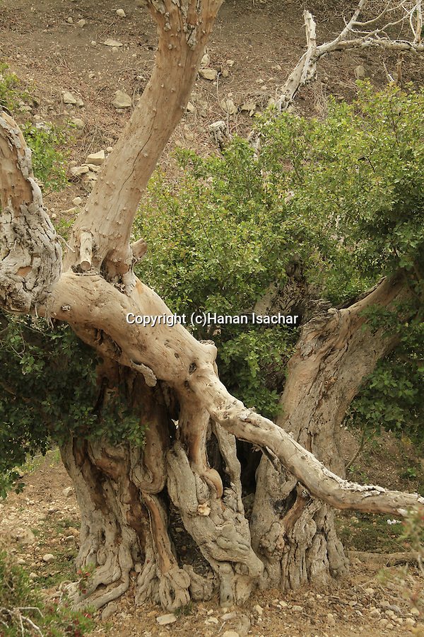Israel, Carmel, Sycamore tree in Nahal Neder