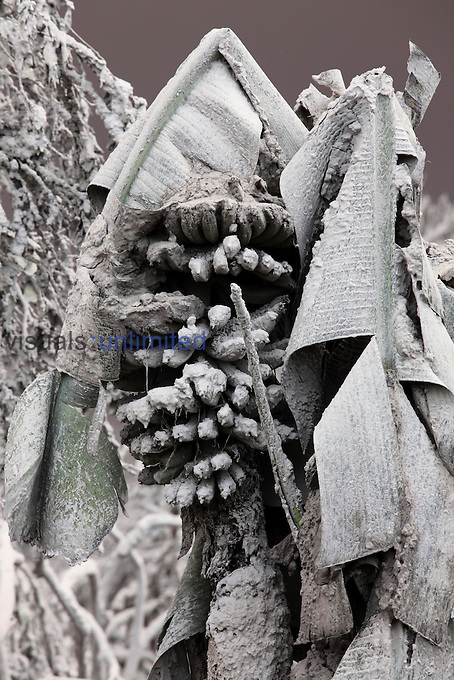 Banana tree damaged by weight of volcanic ash from Sinabung Volcano, Indonesia