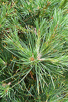 Pinus sylvestris Scotch pine tree, evergreen conifer, popular Christmas tree variety