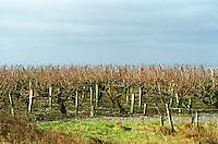 Vineyard. Coteaux du Layon, Anjou, Loire, France