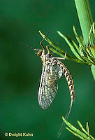 1E13-058x  Mayfly -  subimago preparing to emerge into imago adult - Siphlonisca aerodromia - endangered insect, Maine stream