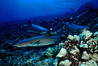 A reef scene with whitetip reef sharks, Triaenodon obesus, patroling the reef.  Hawaii.