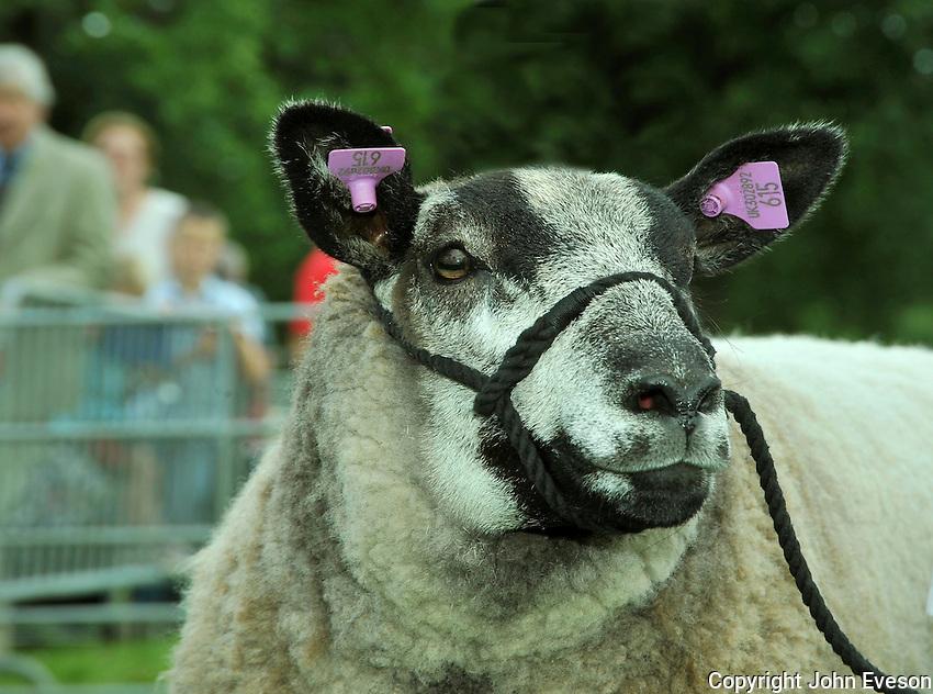 Blue Texel ewe's head with double tags....Copyright..John Eveson, Dinkling Green Farm, Whitewell, Clitheroe, Lancashire. BB7 3BN.01995 61280. 07973 482705.j.r.eveson@btinternet.com.www.johneveson.com