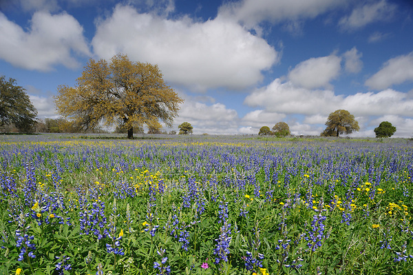 Sandyland bluebonnet (Lupinus subcarnosus), mixed wildflower field with trees, Natalia, Texas, USA