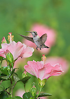Ruby-throated Hummingbird (Archilochus colubris), young male in flight feeding on Hibiscus flower, Hill Country, Texas, USA
