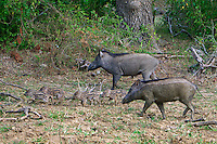 Wild boar or wild pig (Sus scrofa) is a species of the pig genus Sus, part of the biological family Suidae, Sri lanka, Yala National Park