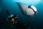 A diver has a very close encounter with a giant oceanic manta ray (Manta birostris), Dampier Strait, Raja Ampat, West Papua, Indonesia