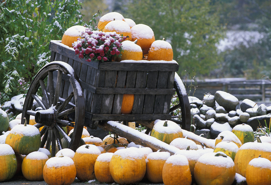 Wagon full of snow covered pumpkins, Barton Tourist Info Center, Vermont