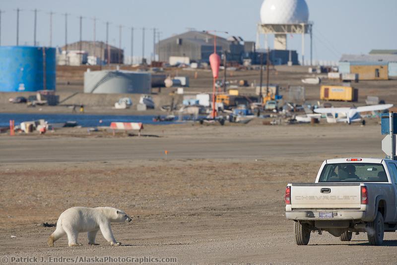 Polar Bear in the village of Kaktovik, Barter Island, Arctic, Alaska