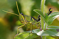 This large usually greenish grasshopper is common and widespread from southern Pennsylvania to Baja California.