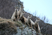Five young capra ibex standing in a row on a rock