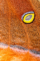 """Close-up of polyphemos moth wing with """"eye"""" and textures"""