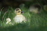 Freshly hatched goslings by James Arnold